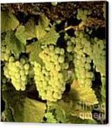 Chardonnay Wine Clusters Canvas Print
