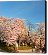 Cherry Blossoms 2013 - 015 Canvas Print