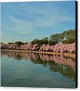 Cherry Blossoms 2013 - 087 Canvas Print