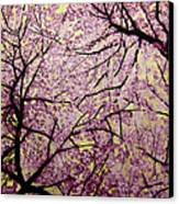 Cherry Blossoms Canvas Print by Bobby Zeik