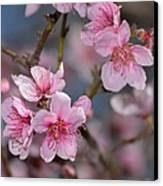 Cherry Blossoms Canvas Print by Old Pueblo Photography