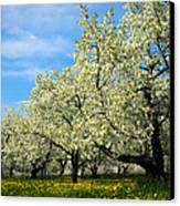 Cherry Blossoms Canvas Print by Thomas Pettengill