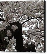 Cherry Blossoms - Washington Dc - 0113114 Canvas Print by DC Photographer