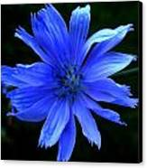 Chicory 2 Canvas Print