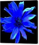 Chicory 3 Canvas Print