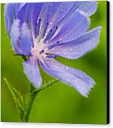 Chicory With Morning Dew Canvas Print