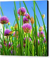 Chive Flowers And Buds Canvas Print by Jo Ann