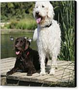 Chocolate And Cream Labradoodles Canvas Print by John Daniels