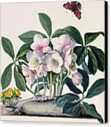 Christmas Rose Canvas Print by Georg Dionysius Ehret
