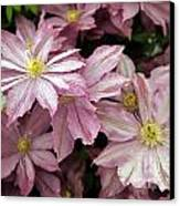 Clematis First Lady Canvas Print