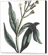 Clove Eugenia Aromatica Canvas Print