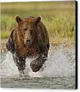 Coastal Grizzly Boar Fishing Canvas Print by Kent Fredriksson