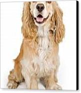 Cocker Spaniel Dog Isolated On White Canvas Print