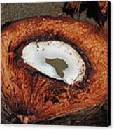 Coconut Canvas Print by Gregory Young