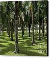 Coconuts Trees In A Row Canvas Print by Sami Sarkis