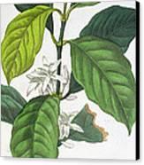 Coffea Arabica Canvas Print