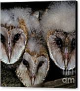 Common Barn Owl Chicks Tyto Alba Canvas Print by Ron Sanford