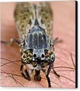 Common Horse Fly Canvas Print by Science Photo Library
