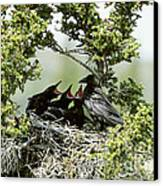 Common Raven Feeding Young In Nest Canvas Print by William H. Mullins