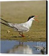 Common Tern Sterna Hirundo Canvas Print by Eyal Bartov