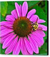 Cone Flower An Bumble  Canvas Print by Brittany Perez