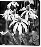 Coneflowers Echinacea Yellow Bw Canvas Print by Rich Franco