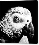 Congo African Grey Head Shot Canvas Print