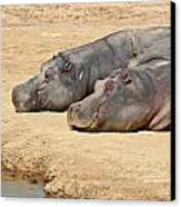 Contented Hippos Canvas Print by Ed Pettitt