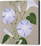 Convolvulus Cneorum Canvas Print by Frances Buckland