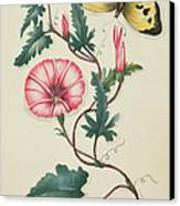 Convolvulus With Yellow Butterfly Canvas Print