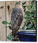 Coopers Hawk 1 Canvas Print by Helen Carson