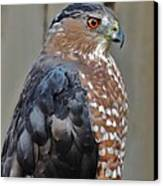 Coopers Hawk 3 Canvas Print by Helen Carson
