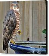 Coopers Hawk 4 Canvas Print by Helen Carson