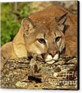 Cougar On Lichen Rock Canvas Print by Sandra Bronstein