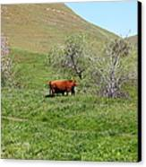 Cows Along The Rolling Hills Landscape Of The Black Diamond Mines In Antioch California 5d22303 Canvas Print by Wingsdomain Art and Photography
