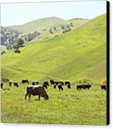Cows Along The Rolling Hills Landscape Of The Black Diamond Mines In Antioch California 5d22328 Canvas Print