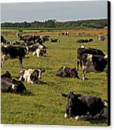 Cows At Work 1 Canvas Print