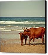Cows On Sea Coast Canvas Print by Raimond Klavins