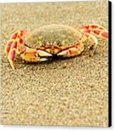 Crab Walk Canvas Print by Rebecca Adams