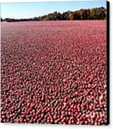 Cranberry Bog In New Jersey Canvas Print