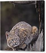 Crouching Bobcat Montana Wildlife Canvas Print