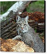 Curious Bobcat  Canvas Print by Jean Clark