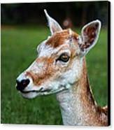 Curious Doe Canvas Print by Mariola Bitner