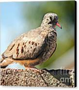 Cute Inca Dove Canvas Print by Robert Bales