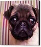 Cute Pug Puppy Canvas Print by Edward Fielding