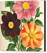 Dahlia Coccinea From A Begian Book Of Flora. Canvas Print
