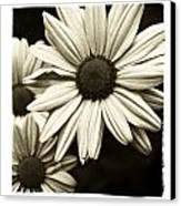 Daisy 1 Canvas Print by Tanya Jacobson-Smith