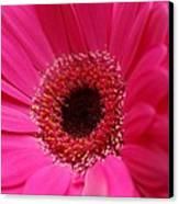 Daisy Pink Canvas Print