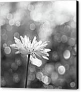 Daisy Rain Canvas Print by Theresa Tahara