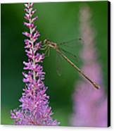 Damselfly Canvas Print by Juergen Roth